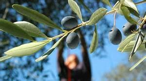 Olivenbaum Pflege Im Topf : olivenbaum kaufen tojas mediterraner baumhandel sortiment olivenbaum lbaum verkauf ~ Buech-reservation.com Haus und Dekorationen