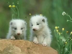 Baby Arctic Foxes | Animal Kingdom | Pinterest