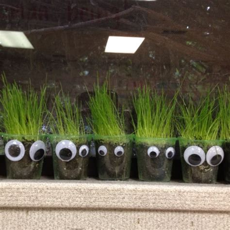 grass heads  clear plastic cups  tiny seed growing