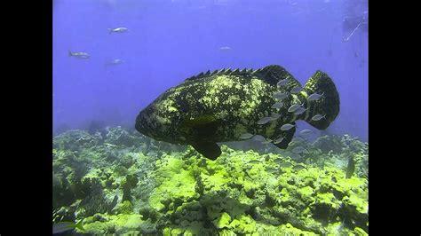 looe key diving goliath grouper florida