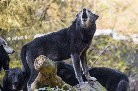 howling black wolf flickr photo sharing