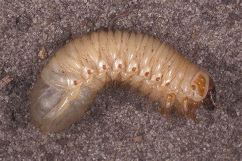grub worm images learn about grub worms grub worm identification hulett pest control