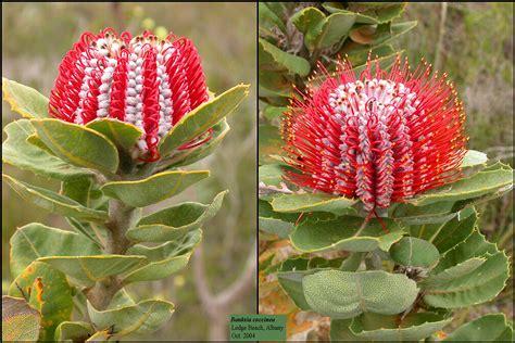 banksia coccinea proteaceae proteacees