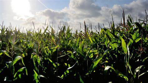gmo monsanto drops bid  approve  crops