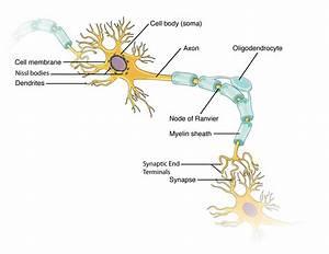 12 2 Nervous Tissue  U2013 Anatomy  U0026 Physiology