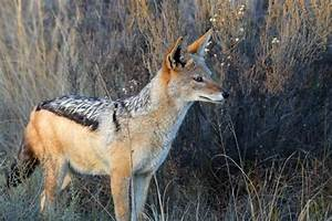 Black-Backed Jackal Facts, Pictures, Video & Information ...