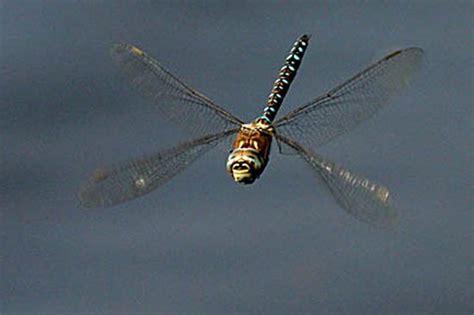 bmi dragonfly