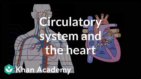 circulatory system   heart human anatomy
