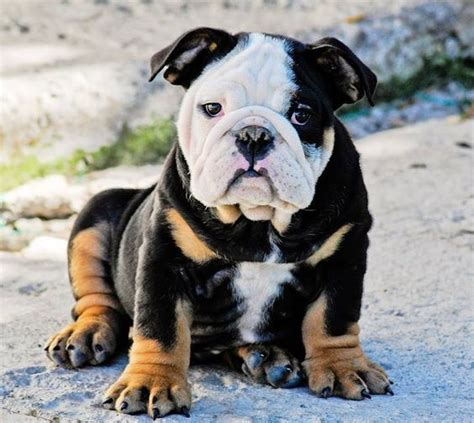 english bulldog pictures bulliepupsruscom