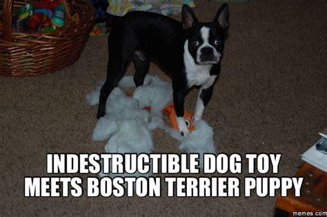 Boston Terrier Meme - indestructible dog toy meets boston terrier puppy