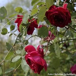 Rosen Düngen Im Frühjahr : gru an teplitz rosen online kaufen im rosenhof schultheis rosen online kaufen im rosenhof ~ Orissabook.com Haus und Dekorationen