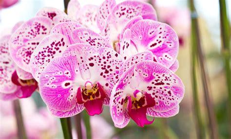 coltivare orchidee in vaso come coltivare le orchidee in vaso leitv