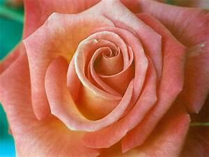 Couleur Complémentaire Du Rose : saumon couleur wikip dia ~ Zukunftsfamilie.com Idées de Décoration