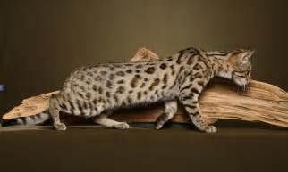 bengal cat images the domestic bengal cat all the creatures