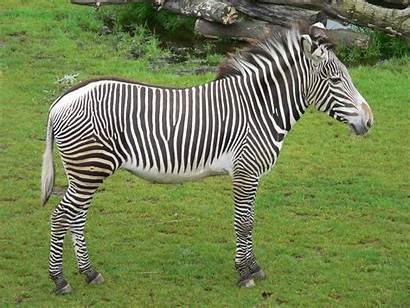 Zebra Wallpapers Mooie Achtergrond Een Weiland