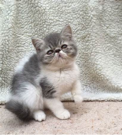 Exotic Shorthair Cats Miami Kittens Fl Adorable