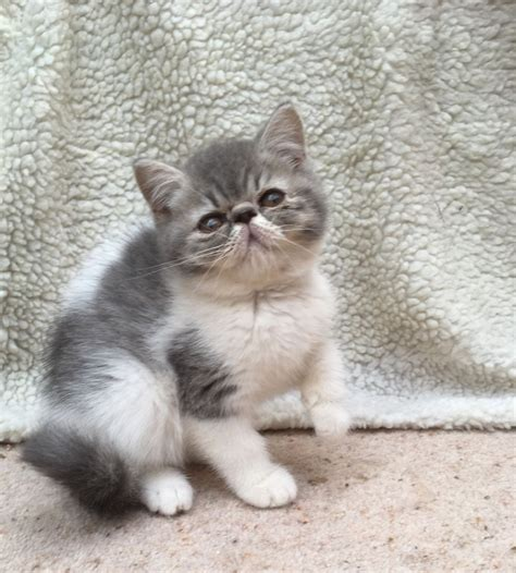 Exotic Shorthair Cats For Sale | Miami, FL #238803