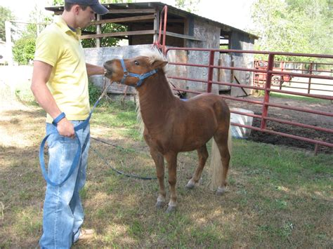 horse pony miniature difference vs horses ponies snickers versus safety child different whats read proportion themselves slimmer built than they