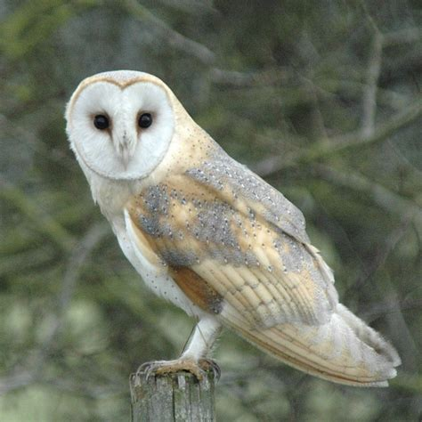 Barn Owl Breeders by Barn Owl Nest Recorder Predicts Another