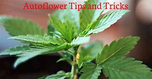 Autoflower Tips And Tricks