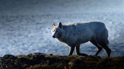 Wolf Gifs Wolves Moon Puppy Howl Google