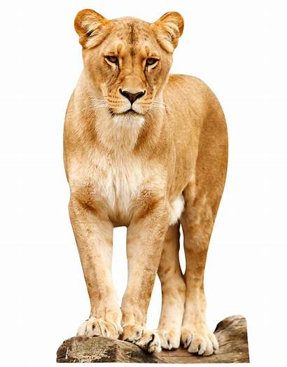 Lion Animals Transparent Female Standing Leones Lions