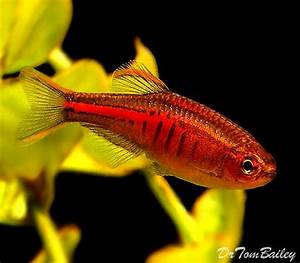 25 best ideas about Tetra fish on Pinterest