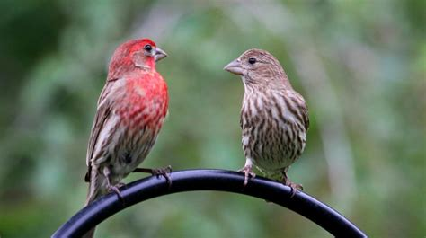 pictures of house finches bird house finch indiana audubon society