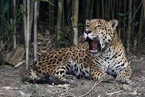 Jaguar - Wikipedia  Jaguar