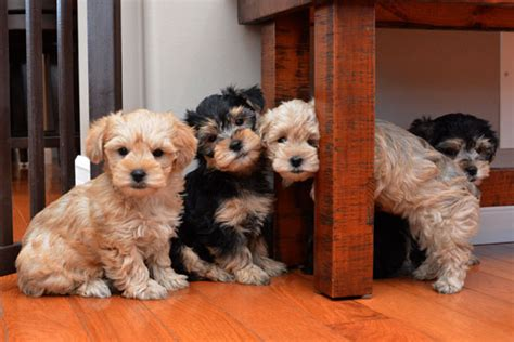 do yorkie poos shed do schnauzer dogs shed breeds picture