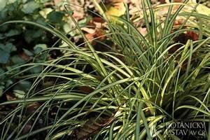 Carex Hachijoensis Evergold Pflege : carex hachijoensis 39 evergold 39 ost ice luk hrdinka ~ Lizthompson.info Haus und Dekorationen