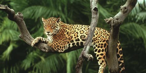 How Are Jaguars Endangered by 2018 Is Our Year To Save The Jaguar Climb For Conservation