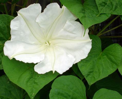 moonflower plant tropical moonflower vine growing information for moon flowers perennial flowering vines