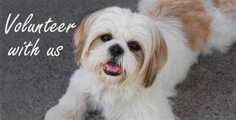 shih tzu poodle lhasa apso mix dogs in our life photo blog