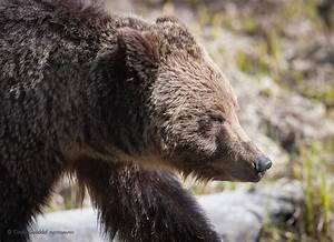 Grizzly and Ravens | Cindy Goeddel Photography