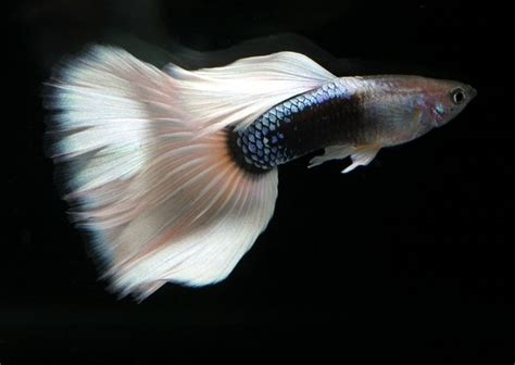 guppy  result  genetic engineering exotic