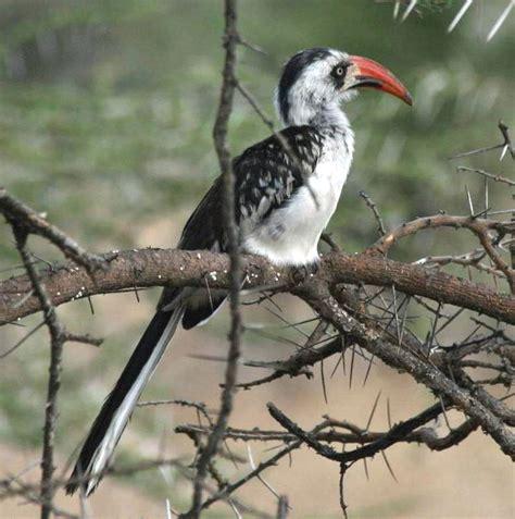 tanzanian red billed hornbill wikipedia