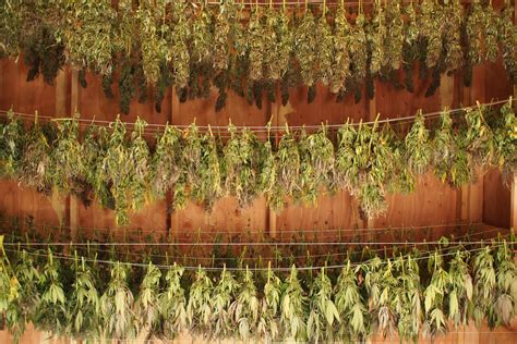 cannabis médecine en herbes