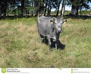 Blaue Kuh Magdeburg : blauwe koe stock foto afbeelding bestaande uit lets ~ Watch28wear.com Haus und Dekorationen