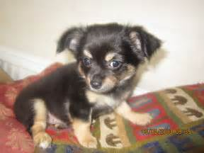 Black and Tan Long Haired Chihuahua