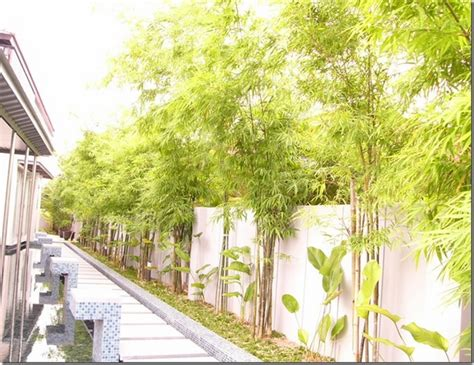 bamboo landscape clumping bamboo landscape privacy screen and decoration ideas