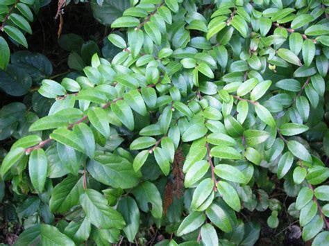 Evergreen Huckleberry, Vaccinium Ovatum  Native Plants Pnw