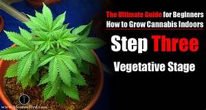 Vegetative Stage For Marijuana Plants