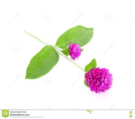 fiore di amaranto fiore di bellezza dell amaranto di globo isolato su bianco