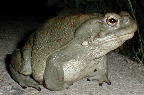 bufo alvarius colorado river toad sonoran desert toad