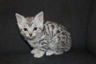 silver bengal cat silver bengal kitten 9 weeks newhairstylesformen2014