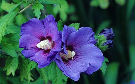 grow hibiscus  telegraph