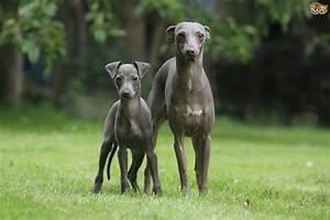Italian Greyhound Dog Breed Information, Buying Advice ...