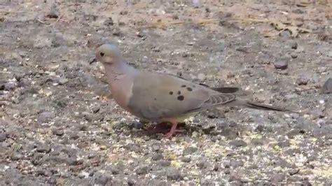 mourning dove feeding on ground youtube