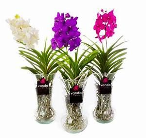 Orchidee Vanda Pflege : vanda diabolo eine exklusive orchidee mit einer auswahl ~ Lizthompson.info Haus und Dekorationen